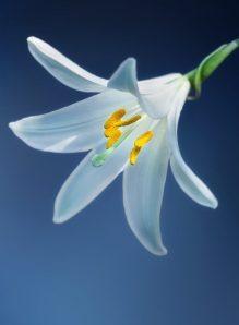 cropped-flower-lily-lilium-candidum-madonna-lily.jpg